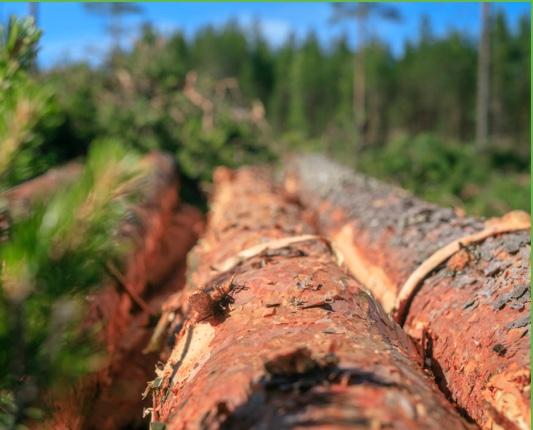 Hakattu puutavara odottaa korjuuta